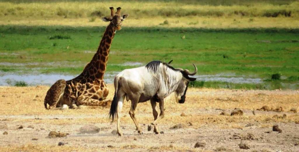 Giraffe-Amboseli-1024x521