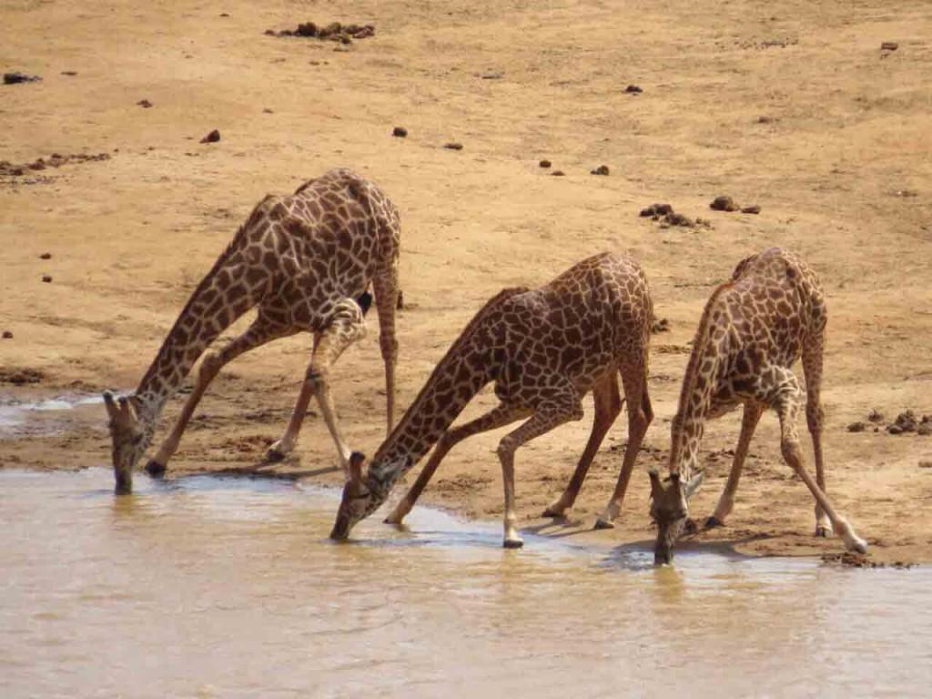 Tsavo-Est-Giraffe
